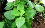 Bài thuốc chữa bệnh từ cây húng chanh