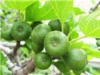 Bài thuốc chữa bệnh từ cây vả