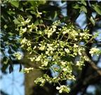Bài thuốc chữa bệnh từ hoa hòe
