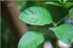 Bài thuốc chữa bệnh từ lá chanh