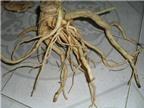 Bài thuốc chữa bệnh từ rễ rau gai