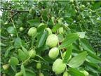 Bài thuốc dân gian chữa bệnh từ táo ta