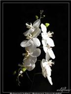Cách bảo quản hoa lan hồ điệp