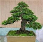 Cách chăm sóc cây bonsai trong nhà để giữ dáng cho cây