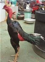 Cách chăm sóc gà chọi trước khi đá theo đúng chuẩn khoa học