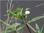 Cách chữa nhiệt miệng bằng thảo dược