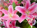 Cách giữ hoa ly tươi lâu trong dịp Tết Nguyên Đán