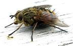Cách làm keo dính ruồi từ những nguyên liệu cực dễ tìm