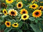 Cách trồng hoa hướng dương tô điểm ngày hè