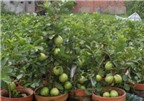 Cách trồng ổi lê trong chậu đơn giản, sai quả tại nhà