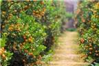Cách trồng quất cảnh giúp thu hoạch làm giàu đúng dịp Tết
