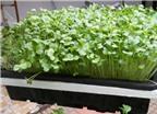 Cách trồng rau mầm xà lách, cải bông xanh, cải Nhật