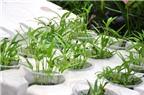 Cách trồng rau muống tươi ngon cho cả gia đình
