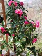 Cách trồng và chăm sóc cây hoa hải đường