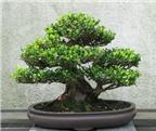 Chia sẻ một số kinh nghiệm trồng cây Bonsai đẹp