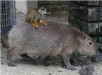 Chuyện lạ thế giới: Khỉ sóc cưỡi chuột lang nước như đi taxi