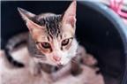 Có thể bào chế vắc-xin phòng ung thư từ phân mèo
