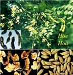 Dùng hoa hòe chữa bệnh trĩ
