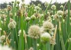 Hành hoa – Bài thuốc đẩy lùi bệnh tật
