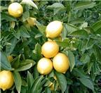 Kinh nghiệm trồng chanh trái vụ