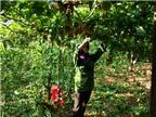 Kinh nghiệm trồng và chăm sóc cây chanh dây