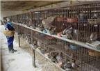 Kỹ thuật nuôi chim bồ câu Pháp tăng khả năng sinh sản và chất lượng tốt
