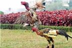 Kỹ thuật nuôi và chăm sóc gà chọi 'máu chiến'