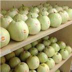 Kỹ thuật trồng dưa lê siêu ngọt cho năng suất cao nhất