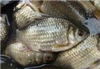 Làm sao để chế biến món Cá diếc nấu rau răm?