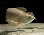 Làm sao để phân biệt các loại cá rồng (P2)