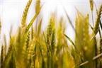 Lúa mì có thể gây bệnh đường ruột