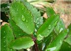Mẹo dân gian chữa bệnh trĩ hiệu quả bằng 4 loại lá