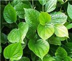 Những loại lá có khả năng trị bệnh đau xương khớp