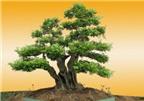 Phân chia các loại cây Bonsai theo nguồn gốc hình thành