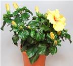 Phương pháp chăm sóc hoa râm bụt trong nhà