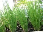 Phương pháp trồng cây hành lá đơn giản cho mọi nhà