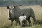 Sừng tê giác có phải là thần dược?