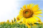 Tác dụng chữa bệnh của hoa hướng dương