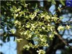 Tác dụng chữa bệnh trong dân gian của hoa hòe