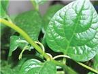 Tác dụng trị bệnh của một số loại rau