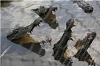 Trải nghiệm cảm giác bị vây giữa đàn cá sấu ở Cần Giờ