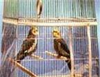 Cách nuôi chim hoạ mi