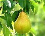 Quả lê giảm cân, chữa táo bón