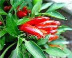 Lợi và hại của ớt