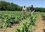 Kinh nghiệm trồng ngô ngọt
