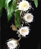 Hoa quỳnh chữa sỏi thận