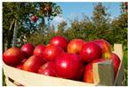 Nước táo ép nguyên chất: Tiện lợi và bổ dưỡng