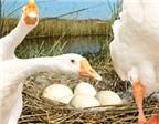 Trứng ngỗng không tốt cho bà bầu như đồn đại
