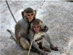 Sốt rét khỉ có thể truyền bệnh cho người?