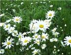 Cúc hoa trắng chữa đau đầu